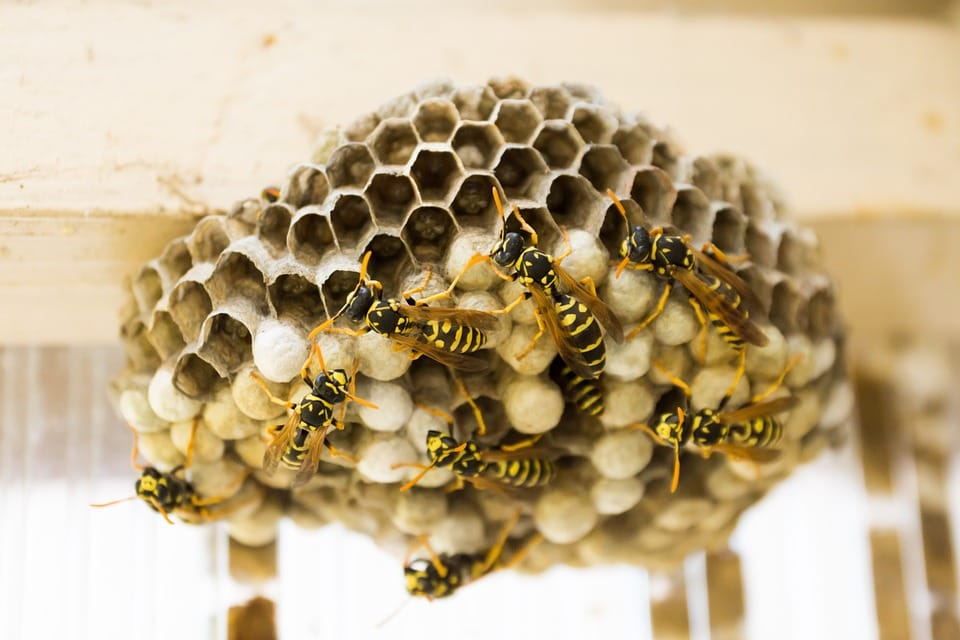 How and Where Do Wasps Build their Nests