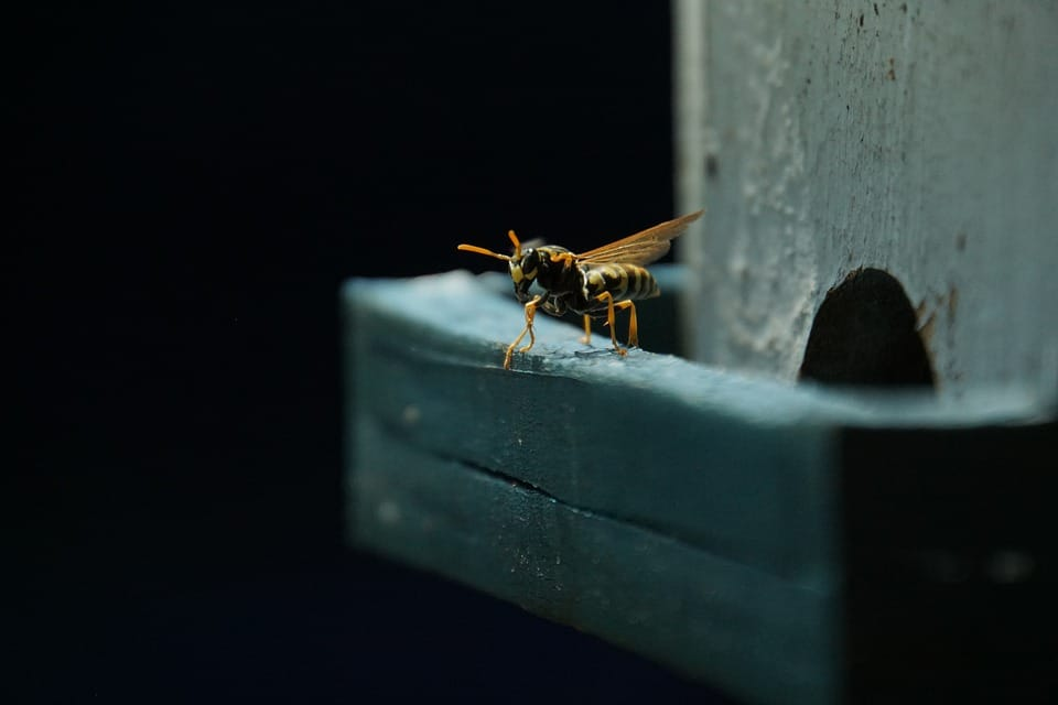 What You Need to Know About Yellow Jacket Wasps