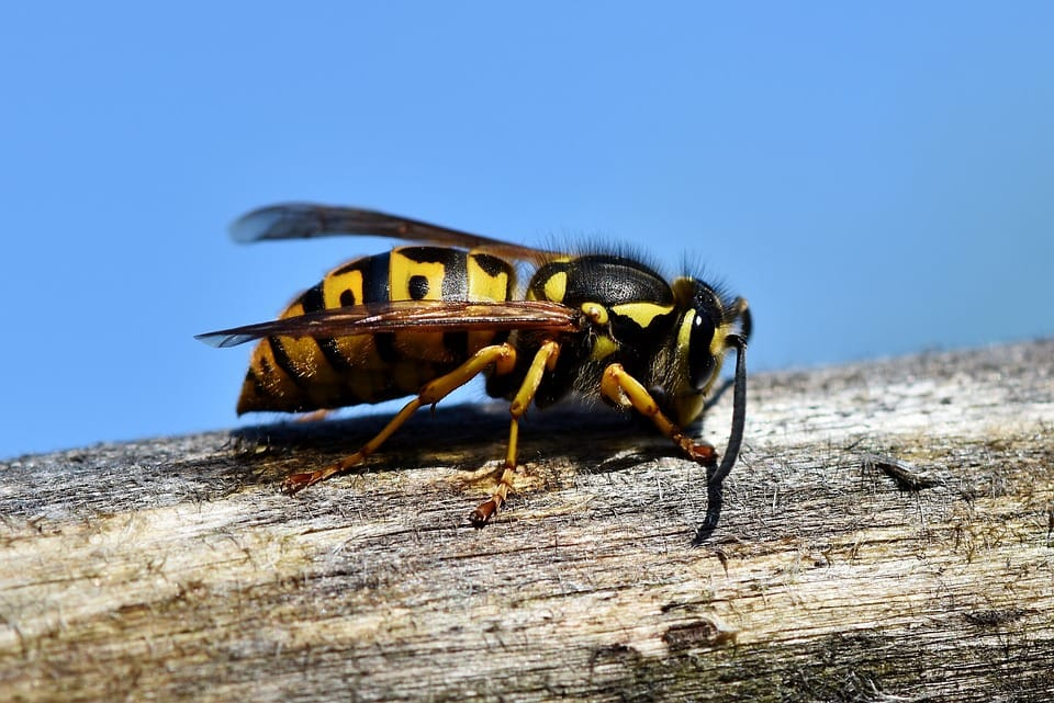 Why are Wasp Stings a Serious Health Threat
