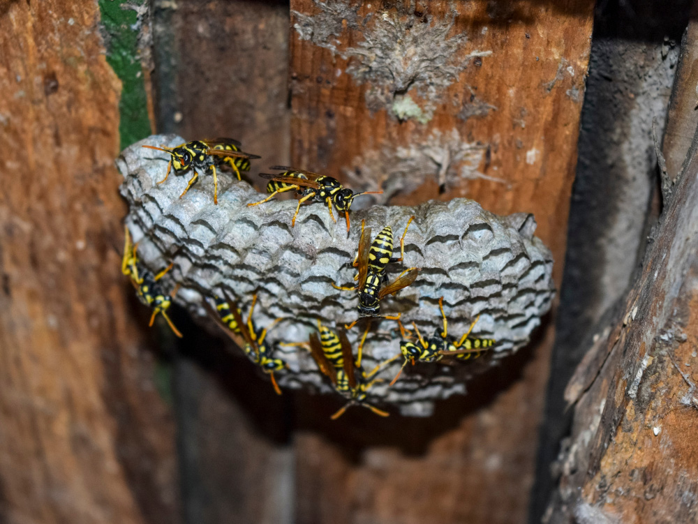 Are yellowjackets and wasps different_