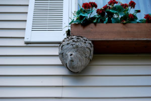 How to identify hornet's nest around you're home